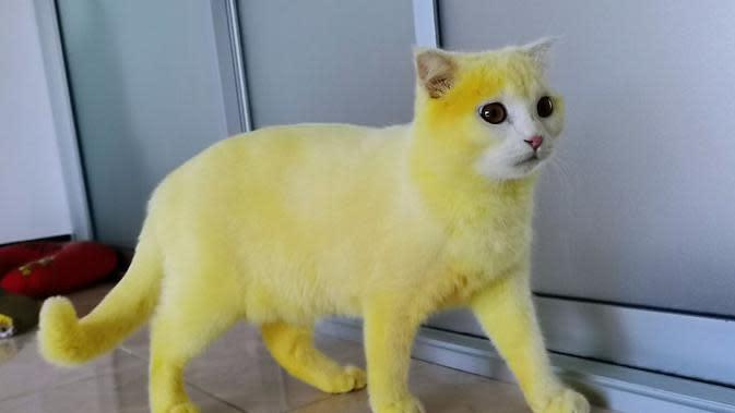 copyright image: ตุ้มเม้งแมวแพนด้า&คาพ้วงแมวเชื้อรา