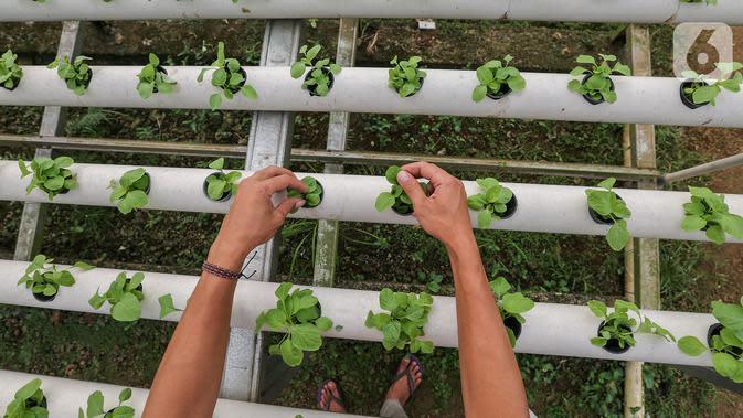 Karyawan memetik sayur hidroponik jenis bayam di Serua Farm, Bojongsari, Depok, Jawa Barat, Jumat (26/6/2020). Kebun sayur yang berdiri di atas lahan seluas 1.200 meter persegi dengan 25.000 lubang tanam menyediakan sayuran hidroponik bebas pestisida. (Liputan6.com/Fery Pradolo)