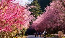 武陵農場110年度櫻花季疏運管制出爐 11月1日同步開放團客預約