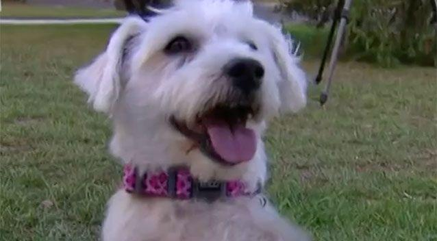Princess managed to save her owner after she got trapped in their Blacktown home. Source: 7 News