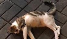 大埔貓隻疑高處墮下 惹虐殺疑雲市民報警求助