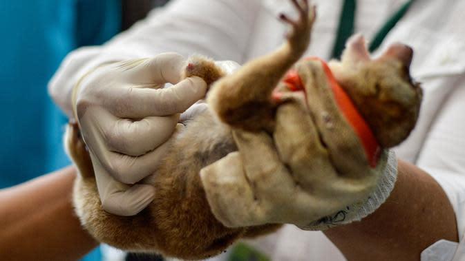 Dokter hewan dan mahasiswa merawat primata Kukang (Nycticebus) setelah operasi amputasi di sebuah fakultas hewan di Banda Aceh, Kamis (9/1/2020). Dua ekor kukang yang diobati itu diserahkan warga Kab. Aceh Besar dan Aceh Tengah dalam kondisi terluka pada mata dan kaki. (CHAIDEER MAHYUDDIN/AFP)