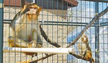 疫情肆虐全球 實驗猴大缺貨!「有價無市」身價飆4倍