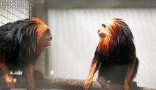 北市動物園首度引進金頭獅狨 (圖)