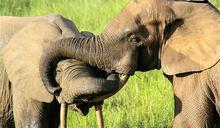 剛果法院首例 殺害逾500頭大象 盜獵者遭判30年