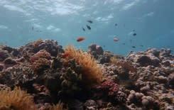 Gugusan karang Great Barrier Reef terancam rusak akibat perubahan iklim