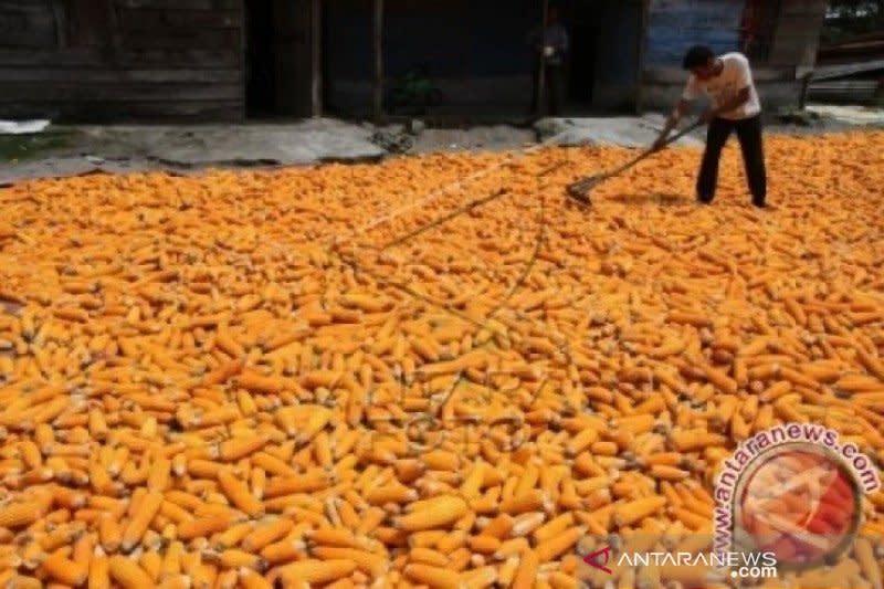 Pinsar harap pemerintah perhatikan harga jagung hindari gejolak pangan
