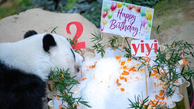 Panda raksasa Yi Yi menikmati kudapan ulang tahun di Kebun Binatang Nasional Malaysia, Selasa (14/1/2020). Yi Yi lahir pada Januari 2018. (Xinhua/Zhu Wei)