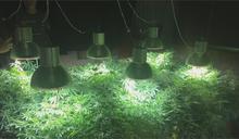 破六億大麻! 嫌犯家中務農 種千株大麻