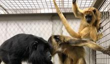稀客報到! 新加坡動物園2瀕危家族抵台
