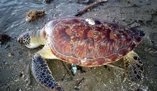 綠蠵龜命喪車城海岸 海巡通報海生館並就地掩埋