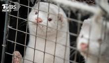 為了人類撲殺1700萬隻水貂! 丹麥總理落淚