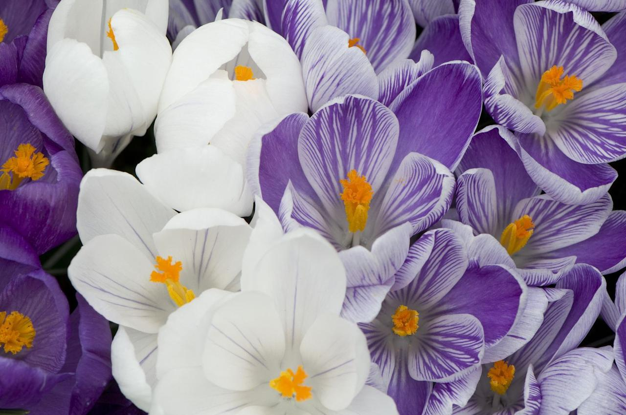 """<p>While this flower looks dainty, it can absolutely withstand winter's harsh temperatures. Plant these babies before the ground freezes—October in the Northern U.S. and November in the Southern U.S.—opting for a 'tricolor' or 'snow' variety for mid-to-late winter blooms.  </p><p>Consider planting the jewel-toned <a href=""""https://www.amazon.com/Remembrance-Crocus-20-Bulbs-Hardy/dp/B000TSQCY6/ref=sr_1_16?dchild=1&keywords=crocus&qid=1602780184&sr=8-16"""" target=""""_blank"""">Remembrance Crocus</a> this year if you live in <a href=""""https://planthardiness.ars.usda.gov/PHZMWeb/"""" target=""""_blank"""">USDA Hardiness Zones</a> 3-9.</p>"""