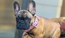 女神卡卡也愛牠!法國鬥牛犬獲「全美最愛犬種」亞軍 高人氣可望奪「狗王」封號