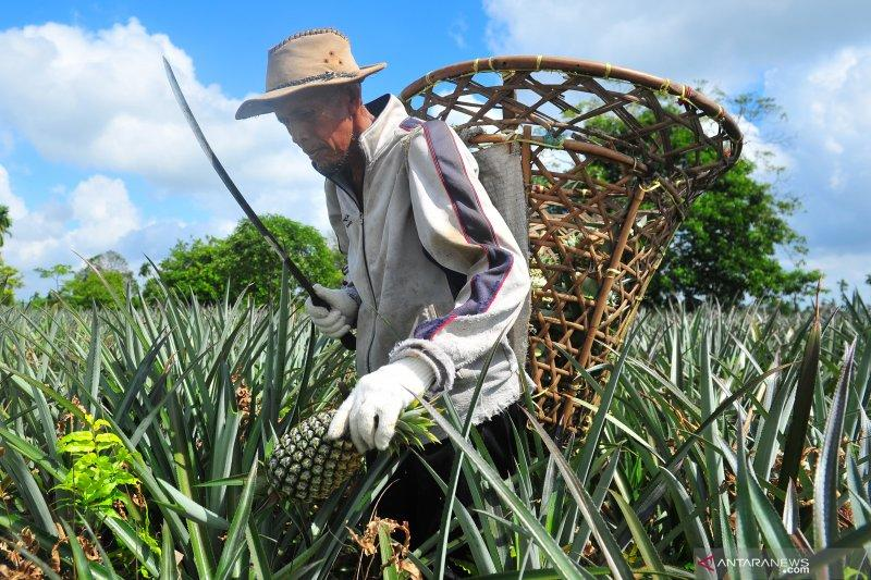 Nanas dinilai bisa tangkal Corona, petani nanas Siak dulang pesanan