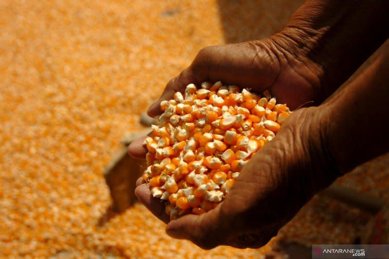 Gorontalo siap ekspor 12.000 ton jagung ke Filipina