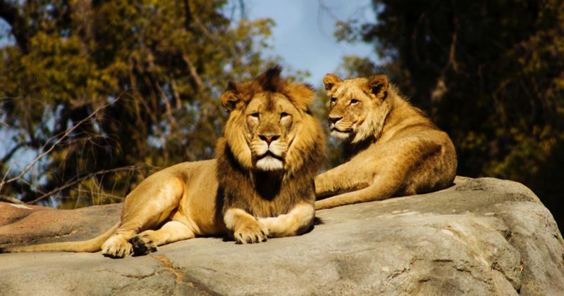 澳洲動物園驚傳獅子襲擊事件。(示意圖/取自Unsplash)