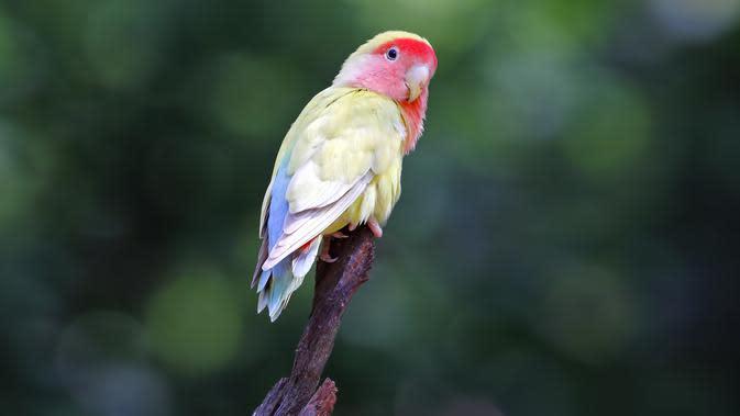 Ilustrasi Lovebird (Sumber: Istockphoto)