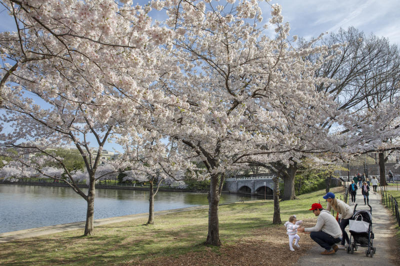 """Charlotte Petersen, 1, toddles to her father, Billy Petersen, of Falls Church, Va., next to her mother Heather, as the family visits the cherry blossom trees in full bloom along the tidal basin, Sunday, March 22, 2020, in Washington. """"We wanted to get some fresh air and a change of scenery,"""" says Heather Petersen, """"we figured if we came early and it wasn't crowded then we wouldn't be too on top of other people."""" Sections of the National Mall and tidal basin areas have been closed to vehicular traffic to encourage people to practice social distancing and not visit Washington's iconic cherry blossoms this year due to coronavirus concerns. The trees are in full bloom this week and would traditionally draw a large crowd. (AP Photo/Jacquelyn Martin)"""