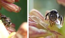 無蟄蜂,馬來西亞超級食物的潛力產業