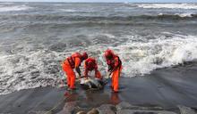 苗栗後龍岸際發現死亡綠蠵龜(2) (圖)