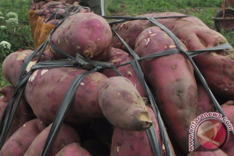 Kementan ajak konsumsi ubi ungu tingkatkan imunitas hadapi COVID-19