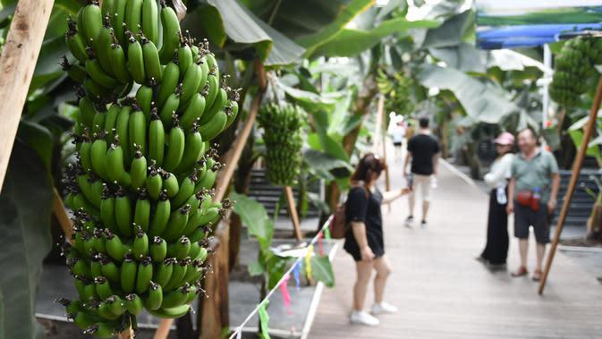 Wisatawan mengunjungi rumah kaca buah-buahan tropis di Wanchang, Wilayah Yongji, di Kota Jilin, Provinsi Jilin, China (12/8/2020). Guna mewujudkan optimisasi struktur pertanian, Wilayah Yongji telah mendorong petani lokal untuk menanam buah-buahan tropis seperti pepaya dan pisang. (Xinhua/Xu Chang)