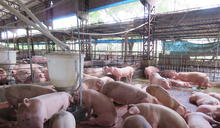 提升台灣豬競爭力!農委會:出口屠宰場要全面升級取得HACCP認可