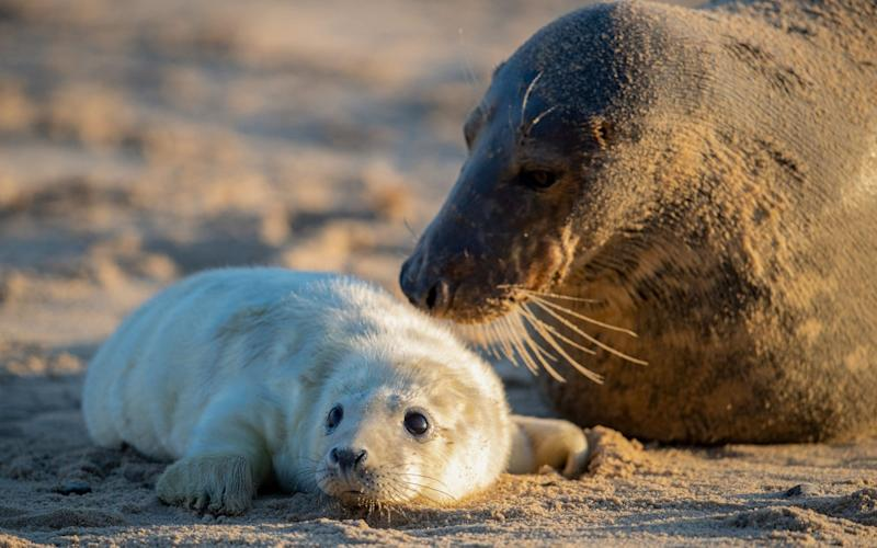 A mother grey seal and her pup in Horsey, Norfolk - Joe Giddens/PA Wire