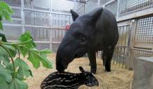 北市動物園馬來貘「貘芳」順利產子 寶寶花紋像小西瓜