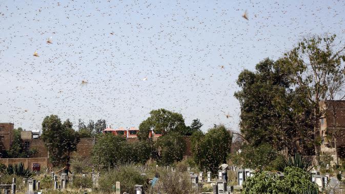 Sekawanan belalang gurun terlihat beterbangan di Sanaa, Yaman (12/7/2020). Menurut FAO, dalam sehari, sekawanan kecil hama itu mampu mengonsumsi lahan pertanian yang dapat memberi makan 35.000 orang. (Xinhua/Mohammed Mohammed)