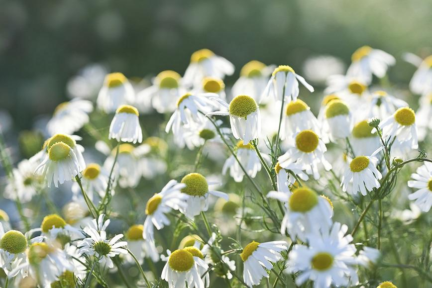 9c41c30eef336 Botanical name Matricaria recutita German chamomile is a lovely addition to  any garden with its delicate