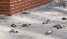 這社區成危險禁地…每年數千隻鳥「高速撞牆」亡 背後原因超心酸