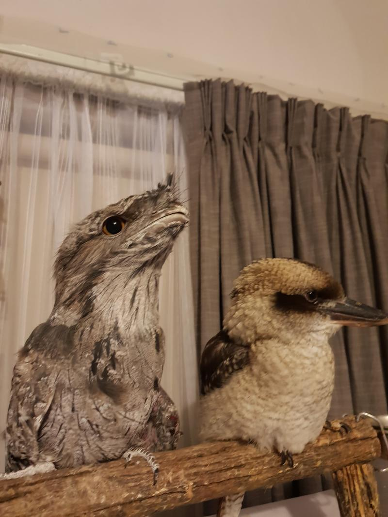 A kookaburra and a tawny frogmouth sit on a wooden perch inside a house.