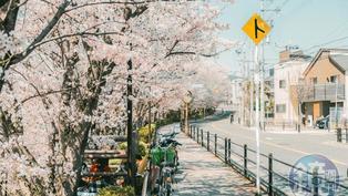 氣候暖化日本櫻花提前盛開 學者:創1200年歷史紀錄