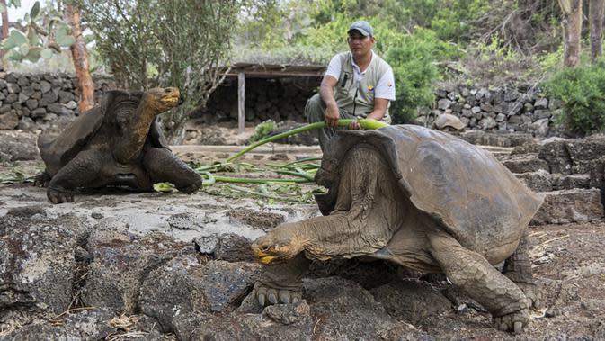 Petugas memberi makan kura-kura raksasa Galapagos di Taman Nasional Galapagos, Ekuador, 12 September 2017. Spesies kura-kura raksasa dari Pulau Floreana yang diperkirakan telah punah 150 tahun silam akan dikembangbiakkan di penangkaran. (AFP Photo)