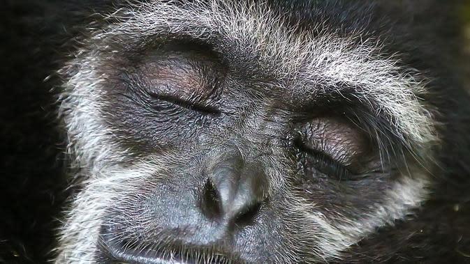 Ilustrasi gibbon (Vitaliy Anokhin/Unsplash).