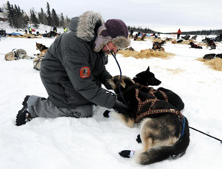 Veterinarian Lee Morgan examines a sled dog at the Finger Lake checkpoint in Alaska during the Iditarod Trail Sled Dog Race on Monday, March 4, 2013. (AP Photo/The Anchorage Daily News, Bill Roth)