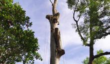 天際樹人力砍除(1) (圖)