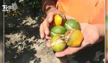 柑橘曬傷、裂果進入收成季 果農臉綠了