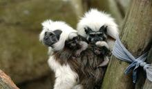 北市動物園棉頭絹猴誕三胞胎 一隻不幸夭折