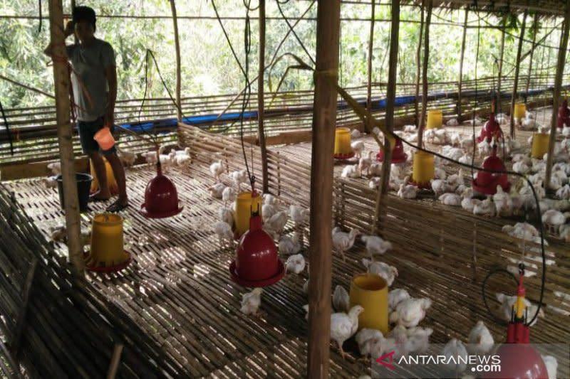 Kalimantan Selatan kekurangan stok bibit ayam potong, ini dampaknya