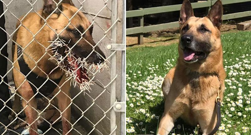 Odin, a police dog, ended up with a mouthful of porcupine quills while chasing down a suspect. He's pictured (right) after having them removed. Source: Facebook/ Coos County Sheriff's Office