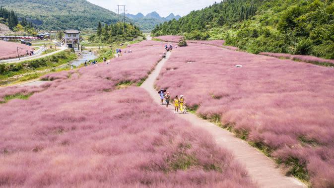 Foto dari udara yang diabadikan pada 2 September 2020 ini menunjukkan para wisatawan yang menikmati pemandangan padang rumput berwarna pink (Muhlenbergia capillaris) di objek wisata Shenquangu di Wilayah Changshun, Provinsi Guizhou, China barat daya. (Xinhua/Tao Liang)