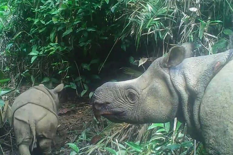 Two endangered Javan rhino calves spotted in Indonesian park