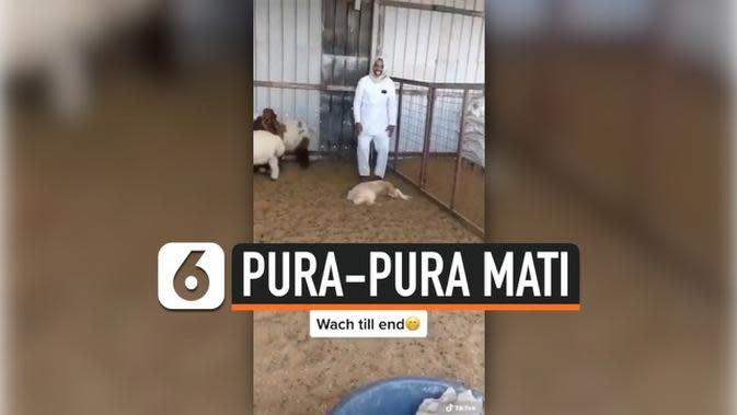 VIDEO: Kambing Pura-Pura Mati untuk Tipu Pemiliknya, Jago Akting Banget