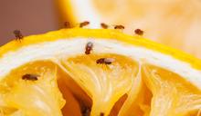大腦如何操控渴與餓的行動?小小果蠅來解密!