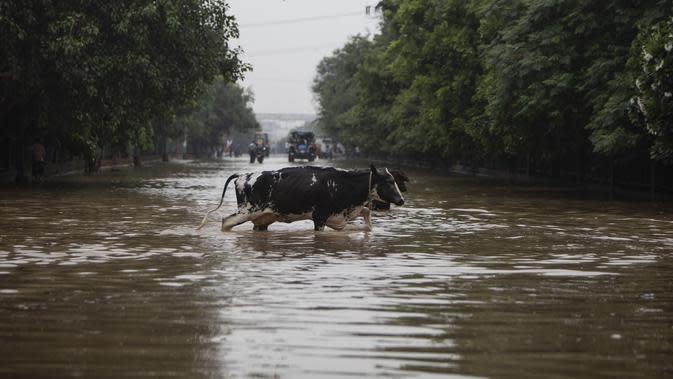 Sapi mengarungi jalan yang tergenang air setelah hujan monsun di Gurgaon di pinggiran New Delhi (19/8/2020). Hujan lebat melanda New Delhi pada 19 Agustus, membanjiri jalan dan menumpuk kesengsaraan bagi penumpang di ibu kota India yang kacau balau. (AFP/Xavier Galiana)