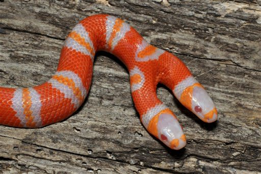 In this Friday, Oct. 28, 2011 photo provided by Daniel Parker of Sunshineserpents.com, a two-headed albino Honduran milk snake is shown in Ridge Manor, Fla. Parker, a University of Central Florida biologist, says that most two-headed snakes have typical coloration. Albino snakes don't have dark pigmentation in their skin. Albino milk snakes appear in bright shades of red, orange and white. The biologist says two-headed snakes have been documented to live as long as 20 years in captivity. But with two brains giving commands to a single body, Parker says the snake would have a difficult time surviving in the wild. (AP Photo/Sunshineserpents.com, Daniel Parker)