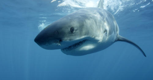 """FILE - In this undated file publicity image provided by Discovery Channel, a great white shark swims near Guadalupe Island off the coast of Mexico. The Discovery network special """"Megalodon: The Monster Shark Lives,"""" opened Discovery's annual """"Shark Week"""" on Sunday, Aug. 4, 2013. With an estimated 4.8 million viewers, it had the largest audience of any show in the 26 years that Discovery has made """"Shark Week"""" a part of its summer programming, the Nielsen company said. (AP Photo/Discovery Channel, Andrew Brandy Casagrande, File)"""